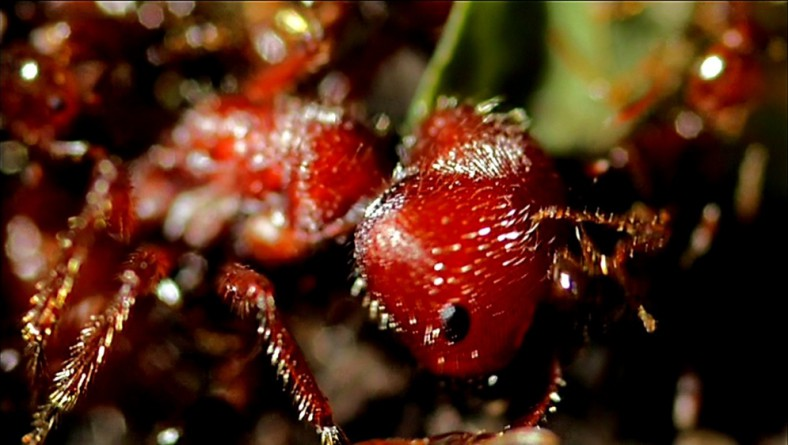 Conquerors: The Fire Ant