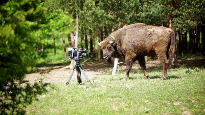 Czechs Protect Bison in Bohemia